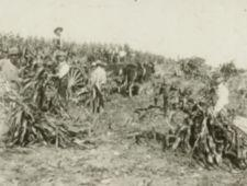 Men pull down cornstalks in a field, an wagon nearby.